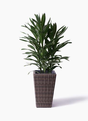 観葉植物 ドラセナ グローカル 8号 ウィッカーポット スクエアロング OT 茶 付き
