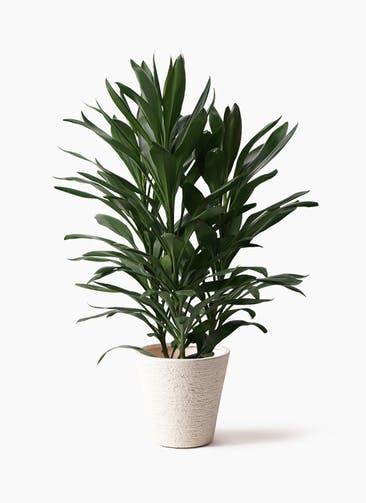 観葉植物 ドラセナ グローカル 8号 ビアスソリッド 白 付き