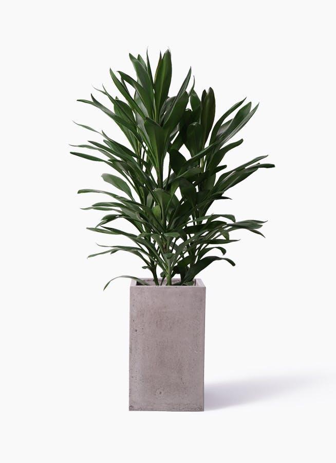 観葉植物 ドラセナ グローカル 8号 セドナロング グレイ 付き