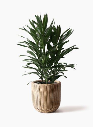 観葉植物 ドラセナ グローカル 8号 ウィッカーポットエッグ ベージュ 付き