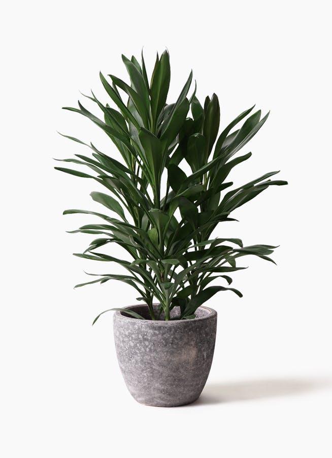 観葉植物 ドラセナ グローカル 8号 アビスソニアミドル 灰 付き