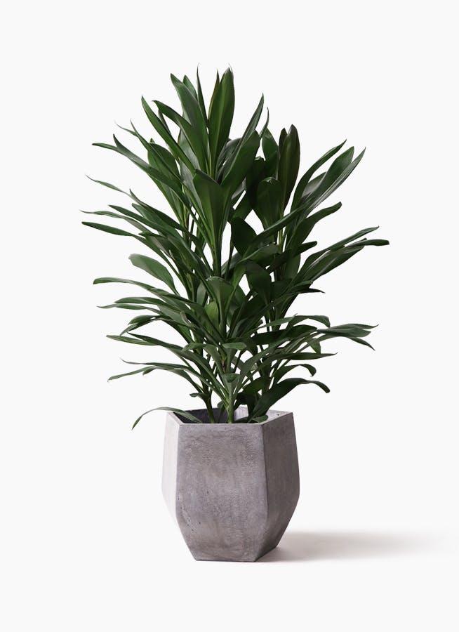 観葉植物 ドラセナ グローカル 8号 ファイバークレイ Gray 付き