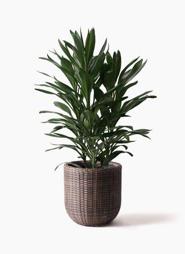 観葉植物 ドラセナ グローカル 8号 ウィッカーポットエッグ 茶 付き