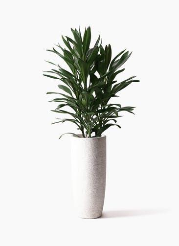 観葉植物 ドラセナ グローカル 8号 エコストーントールタイプ white 付き