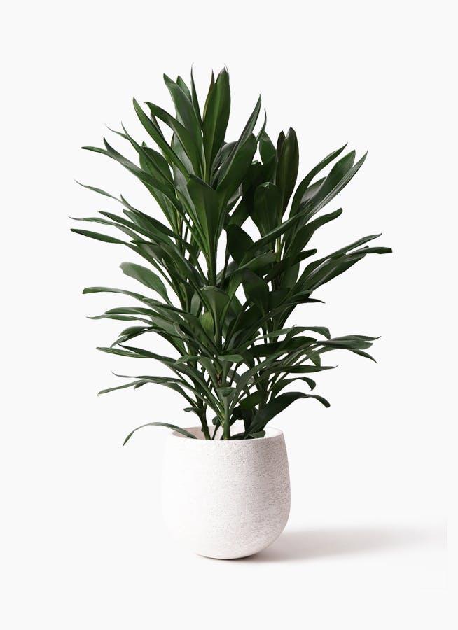 観葉植物 ドラセナ グローカル 8号 エコストーンwhite 付き