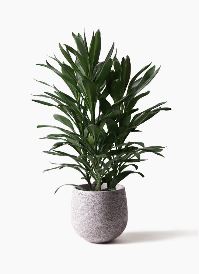 観葉植物 ドラセナ グローカル 8号 エコストーンGray 付き