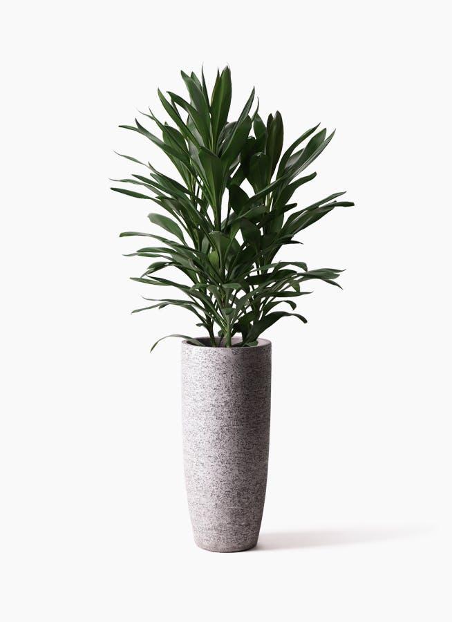 観葉植物 ドラセナ グローカル 8号 エコストーントールタイプ Gray 付き
