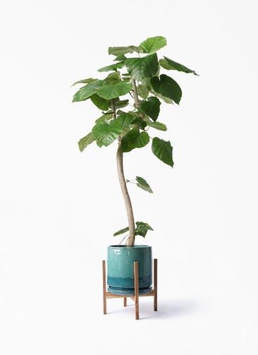 観葉植物 フィカス ウンベラータ 8号 曲り ビトロ エンデガ ターコイズ ウッドポットスタンド付き