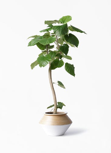 観葉植物 フィカス ウンベラータ 8号 曲り アルマジャー 白 付き