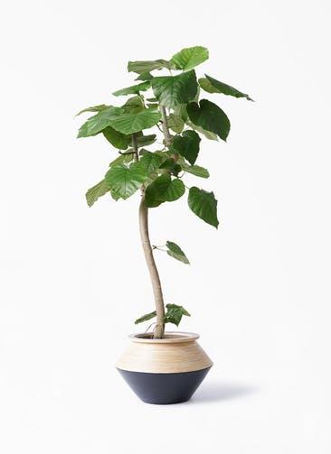 観葉植物 フィカス ウンベラータ 8号 曲り アルマジャー 黒 付き