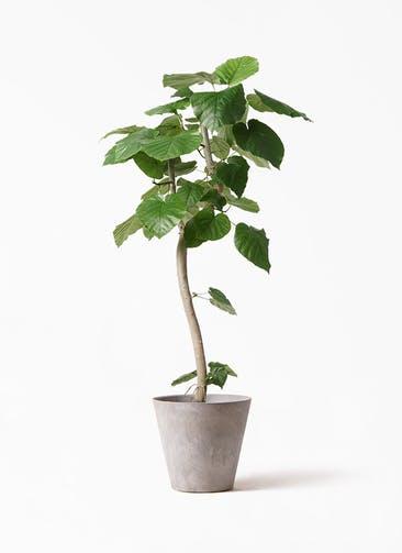観葉植物 フィカス ウンベラータ 8号 曲り アートストーン ラウンド グレー 付き