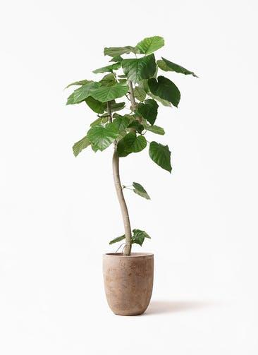 観葉植物 フィカス ウンベラータ 8号 曲り ルーガ アンティコ アルトエッグ 付き