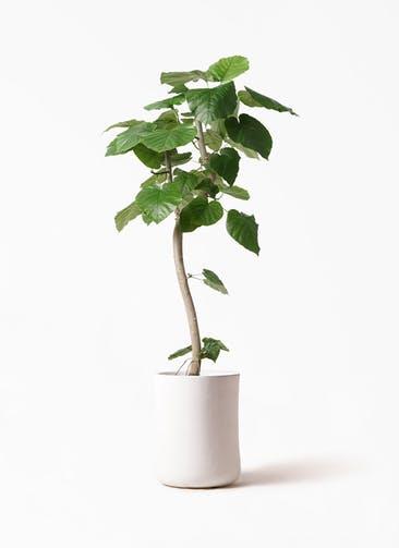 観葉植物 フィカス ウンベラータ 8号 曲り バスク ミドル ホワイト 付き
