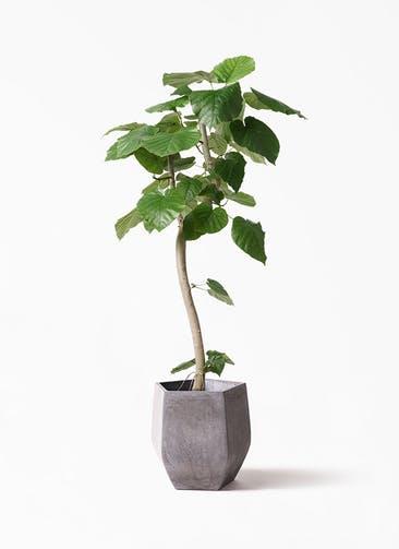 観葉植物 フィカス ウンベラータ 8号 曲り ファイバークレイ Gray 付き
