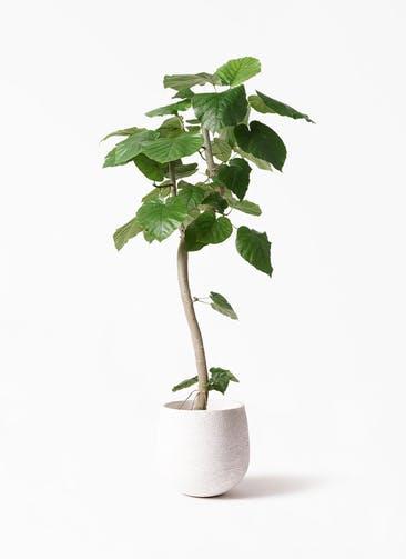 観葉植物 フィカス ウンベラータ 8号 曲り エコストーンwhite 付き