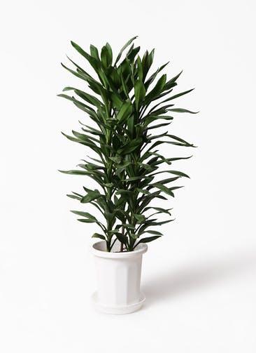 観葉植物 ドラセナ グローカル 10号 プラスチック鉢