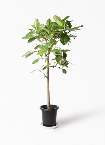 観葉植物 フィカス アルテシーマ 10号 ストレート プラスチック鉢