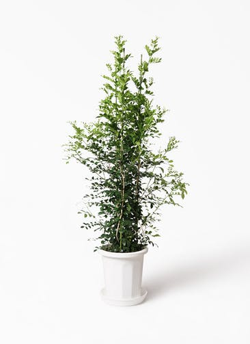 観葉植物 シルクジャスミン(げっきつ) 10号 プラスチック鉢