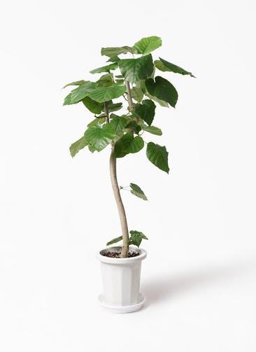 観葉植物 フィカス ウンベラータ 8号 曲り プラスチック鉢