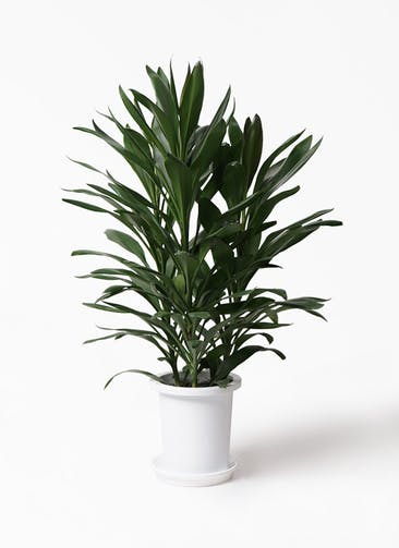 観葉植物 ドラセナ グローカル 8号 プラスチック鉢