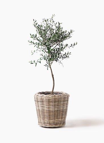 観葉植物 オリーブの木 7号 創樹 モンデリック ラタン 付き