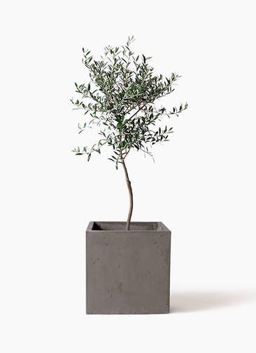 観葉植物 オリーブの木 7号 創樹 コンカー キューブ 灰 付き
