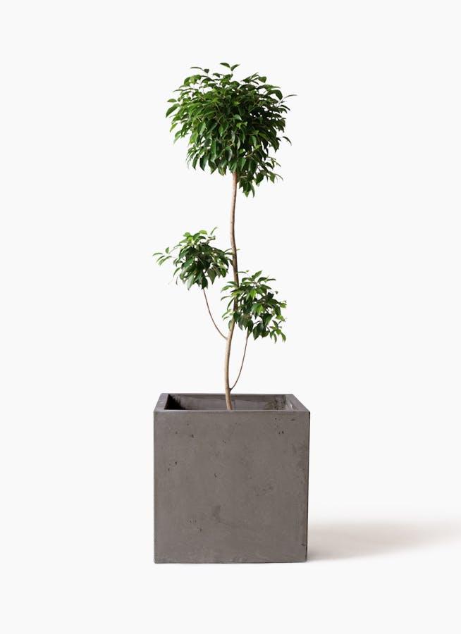 観葉植物 フィカス ベンジャミン 8号 チラシ コンカー キューブ 灰 付き