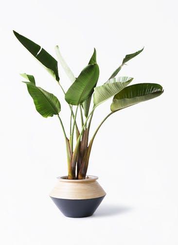 観葉植物 オーガスタ 8号 アルマジャー 黒 付き
