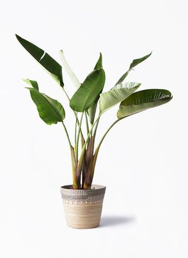 観葉植物 オーガスタ 8号 アルマ コニック 白 付き