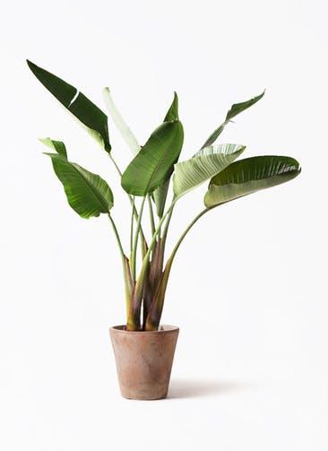 観葉植物 オーガスタ 8号 ルーガ アンティコ ソリッド 付き