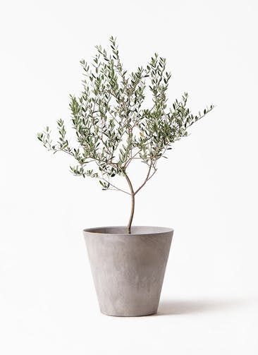 観葉植物 オリーブの木 8号 マンザニロ アートストーン ラウンド グレー 付き
