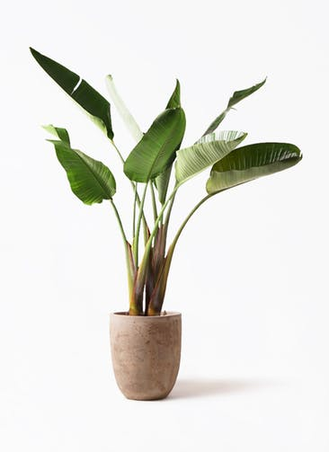 観葉植物 オーガスタ 8号 ルーガ アンティコ アルトエッグ 付き
