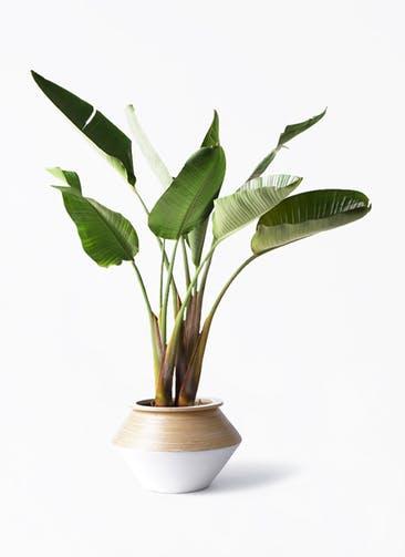 観葉植物 オーガスタ 8号 アルマジャー 白 付き