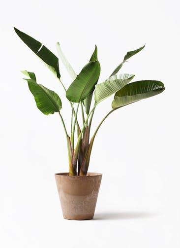 観葉植物 オーガスタ 8号 アートストーン ラウンド ベージュ 付き