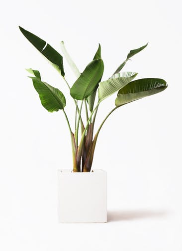 観葉植物 オーガスタ 8号 バスク キューブ 付き
