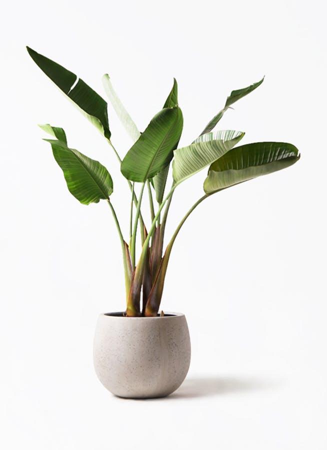観葉植物 オーガスタ 8号 テラニアス ローバルーン アンティークホワイト 付き