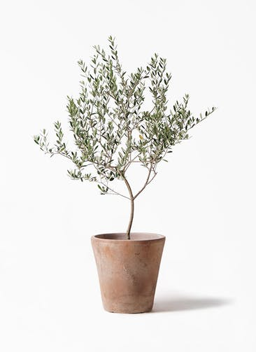 観葉植物 オリーブの木 8号 マンザニロ ルーガ アンティコ ソリッド 付き
