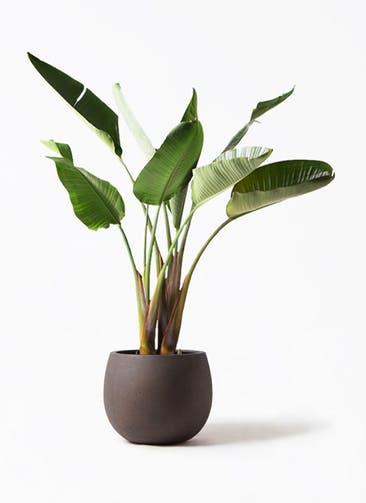 観葉植物 オーガスタ 8号 テラニアス ローバルーン アンティークブラウン 付き