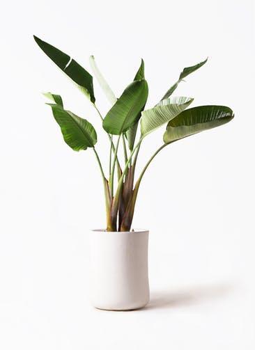 観葉植物 オーガスタ 8号 バスク ミドル ホワイト 付き