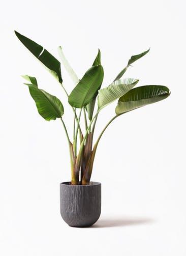 観葉植物 オーガスタ 8号 カルディナダークグレイ 付き