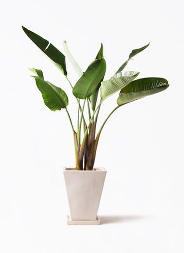 観葉植物 オーガスタ 8号 スクエアハット 白 付き