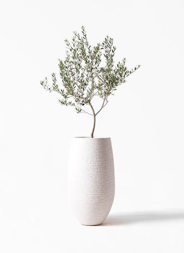 観葉植物 オリーブの木 8号 マンザニロ フォンティーヌトール 白 付き