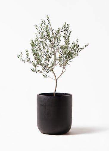 観葉植物 オリーブの木 8号 マンザニロ エルバ 黒 付き