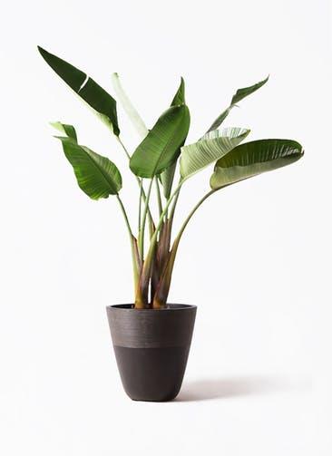 観葉植物 オーガスタ 8号 ジュピター 黒 付き