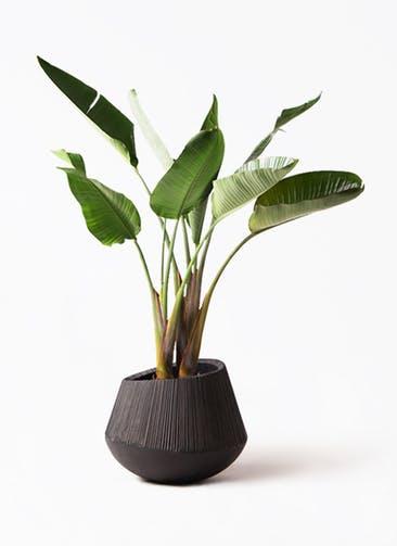 観葉植物 オーガスタ 8号 エディラウンド 黒 付き
