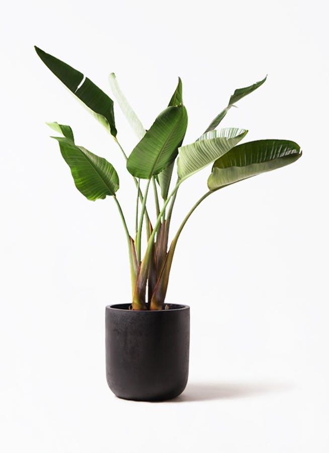観葉植物 オーガスタ 8号 エルバ 黒 付き