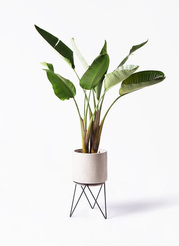 観葉植物 オーガスタ 8号 ビトロ エンデカ クリーム アイアンポットスタンド ブラック 付き