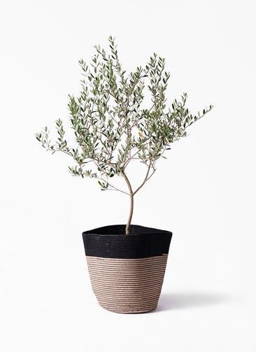 観葉植物 オリーブの木 8号 マンザニロ リブバスケットNatural and Black 付き