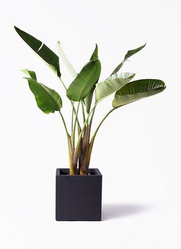 観葉植物 オーガスタ 8号 ベータ キューブプランター 黒 付き