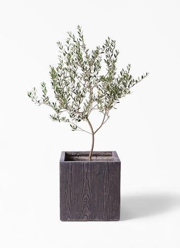 観葉植物 オリーブの木 8号 マンザニロ ベータ キューブプランター ウッド 茶 付き